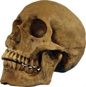 Hard resin human skull with movable jaw